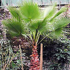 MEXICAN FANPALM Washintonia robusta 10, 50, 10, 500, 1000 seeds choice listing