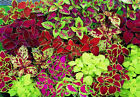 COLEUS MIX shade plant 50, 250, 500, 2500, 5000 seeds choice listing