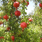 DWARF POMEGRANATE Punica granatum 10, 50, 100, 500, 1000 seeds choice listing