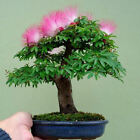 Silk Tree Albitzia BONSAI 10,  50,  100,  500,  1000 seeds choice listing