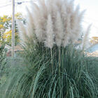 PAMPAS GRASS WHITE and PINK 100, 500, 1000, 5000, 10,000 seeds choice listing