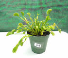 "Dionaea muscipula (Venus Fly Trap) with 4"" pot #816"