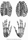 ML32 Vintage Medical Anatomical Human Rib Hand Bones Vesalius Poster A2/A3/A4