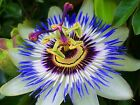 earthsgarden PASSION FLOWER / PASSIONFLOWER OIL 100% PURE NATURAL ORGANIC .