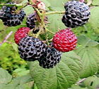 15 Heirloom Raspberry Seeds -Toggle Down the List to See The Varieties
