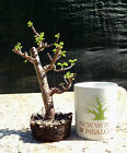 Dwarf Jade Bonsai, No reserve Auction, Well done tree perfect for indoors!