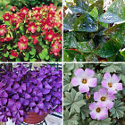 Hot 10pcs Perennial Shamrock- Oxalis Bulbs Triangularis Leaf Flower Seeds Plants