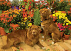 Cobble Hill 1000Pc Duck Tollers