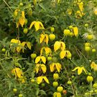 GOLDEN CLEMATIS TANGUTICA, Radar love 20, 200 or 2000 seeds