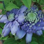 CLEMATIS Blue light  double blooms proven winner 20, 200 or 2000 seeds