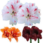 2Pcs Amaryllis Bulbs Hippeastrum Home Balcony Garden Flower Plants Seeds Fashion