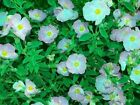 Cistus Argenteus 'Blushing Peggy Sammons' Rock Rose 9cm pot Please Read Descript