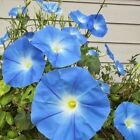 UNTREATED MORNING GLORY HEAVENLY BLUE from 50  to 1 pound seeds