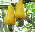 10Pcs Cashew Nuts Tree Seeds Rare Mix Color Perennial Plant Bonsai Fruit