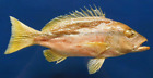 Snapper Lutjanus vitta, Lutjanus biguttatus Fish Taxidermy Oddities Curios