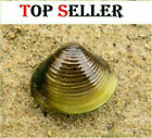 Live Freshwater Clams / Puffer Fish Food, Tank Mate,  Algae Control, Clear Water