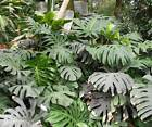 Monstera Deliciosa - 10 / 50 Seeds - Swiss Cheese Plant - Houseplant