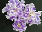 African Violet Plant- Blue Mist (Goluboi Tuman) RUSSIAN (two Inch Potted Plant)