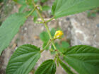 Corchorus olitorius NALTA JUTE Yellow flowers SEEDS!