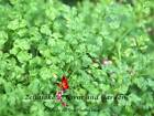Winter Chervil - Microgreen or Garden Seeds     bin184