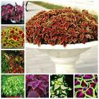 100Pcs Coleus Blumei Flower Seeds Room Nettles Scutellarioides Beautiful Garden