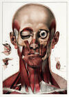ML03 Vintage 1830 Medical Surgical Human Head Neck Muscles Poster Reprint A2/A3