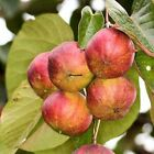 TUNG OIL TREE ALEURITES FORDII 2 or 10 seeds choice listing