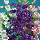 CUP & SAUCER CAMPANULA MEDIUM 20, 100, 200 seeds choice listing