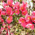 FLOWERING QUINCE Chaenomeles Japonica 10, 50, 100, 500, 1000 seeds choice listin