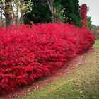 CORKED BURNING BUSH Euonymus alatus 10, 50, 100, 500, 1000 seeds choice listing