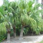 CHINESE FAN PALM  hardy 10, 50, 100, 500, 1000, 1 pound seeds choice listing