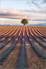 Poster / Leinwandbild Tree in a lavender field, Provence, France - M. Colombo