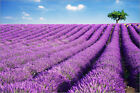 Poster / Leinwandbild Lavender field and tree, Provence, France - Matteo Colombo