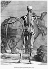 ML45 Vintage Medical Anatomical Human Body Skeleton Back Albinus Poster A2/A3/A4