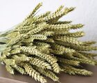 BEAUTIFUL DRIED WHEAT BARLEY TARWE TRITICUM - DRIED FLOWER ARRANGING LARGE BUNCH
