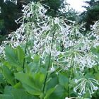 Nicotiana sylvestris, woodland Tobacco 100+,  1,000+ or 10,000+ seeds