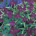 Nicotiana sanderae,  purple Tobacco 100+,  1,000+ or 10,000+ seeds