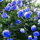 Blue climbing rose 20, 200 or 2000 seeds