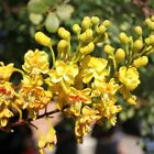 CAESALPINIA mexicana Mexican bird of paradise 10, 50, 100, 500 or 1000 seeds