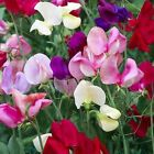 Sweet Pea lathyrus odoratus royal family mix from 15 seeds to 2 pounds of seeds