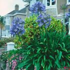 AGAPANTHUS African Lily pink, white or blue - 10, 50, 100, 500 or 1000 seeds
