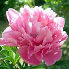 10Pcs Home Gardening Ornamental Plants Potted Colorful Peony Flower EHE8
