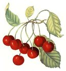 Red Cherry Cherries Sprig Select-A-Size Waterslide Ceramic Decals Xx image