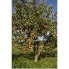 Apple tree in field Poster Art Print,  Home Decor