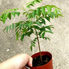 CO_ 100Pcs Curry Leaf Tree Seeds Petted Culinary Herb Plant Garden Decor Hot Sel