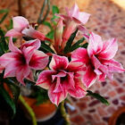 "Adenium Obesum 1 grafted plants "" CHORMOUNG "" NEW RARE !!!"