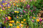 Wildflower Mix:North American wildflower mix 3000+ seeds Fresh Seed  FREE Ship..
