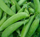 Pea Seed:  Sugar Snap Pea Seeds  Fresh Seed   FREE Shipping!!!