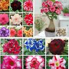 New Nice Adorable Flower Fragrant Seeds Fragrant Blooms Desert Rose DZ88 02